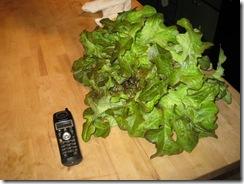 01-22-08 Red Oakleaf lettuce head grown under lights 003