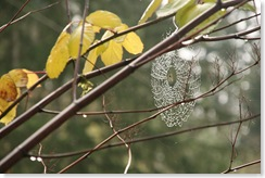 cobweb, WA