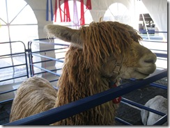 01-08-08 Alpacas for auction in Vegas 003